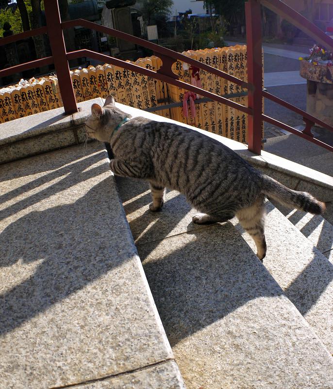 階段の端を歩くサバトラ猫4