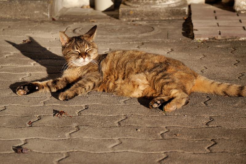 夕陽を受けてまったりするサビ柄猫1