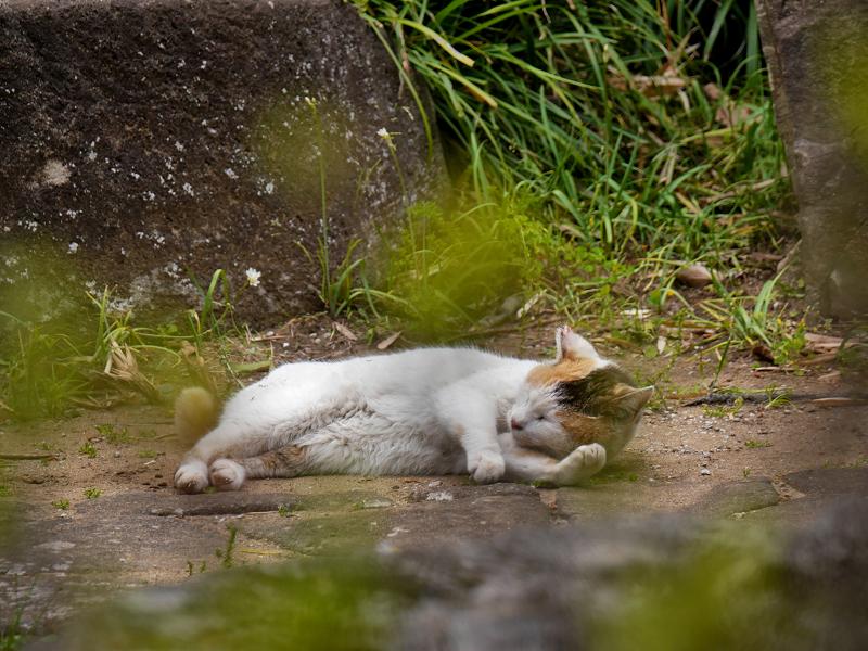 地面に横になってる白三毛猫1