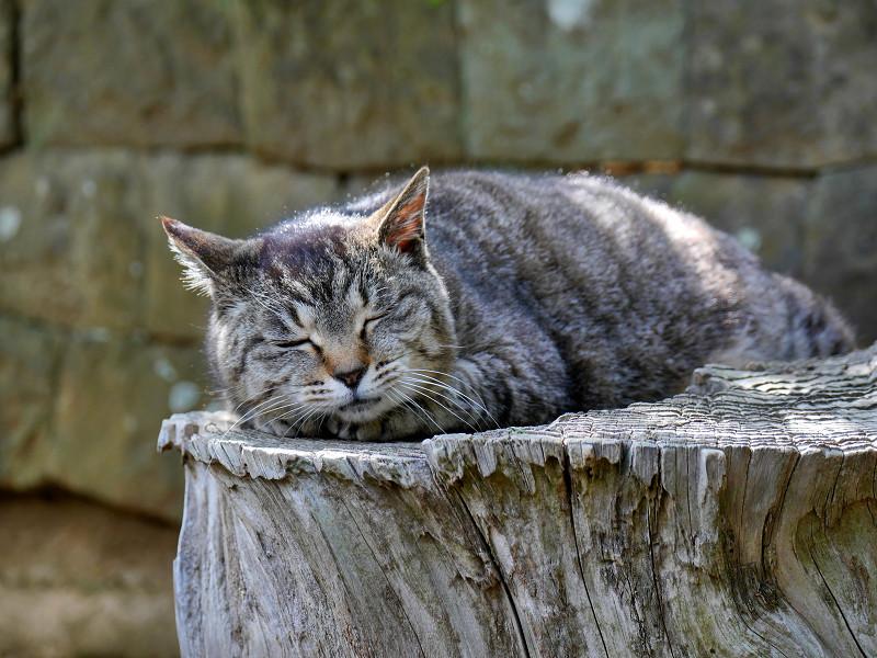 桜の切り株で寝ているキジトラ猫1