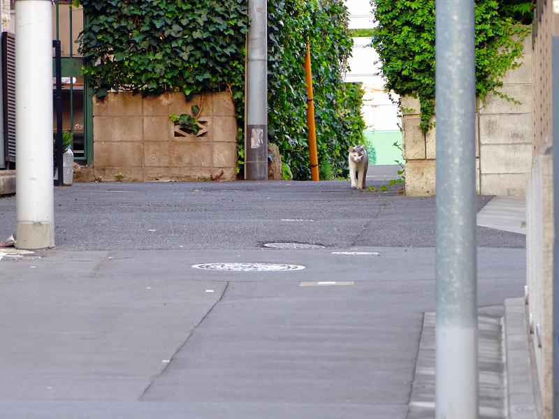裏路地を歩く白グレー猫2