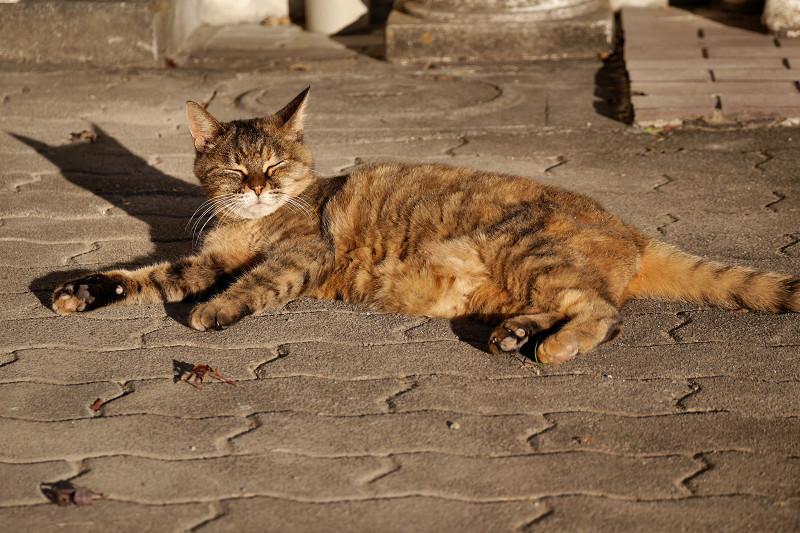 夕陽を受けてまったりするサビ柄猫2