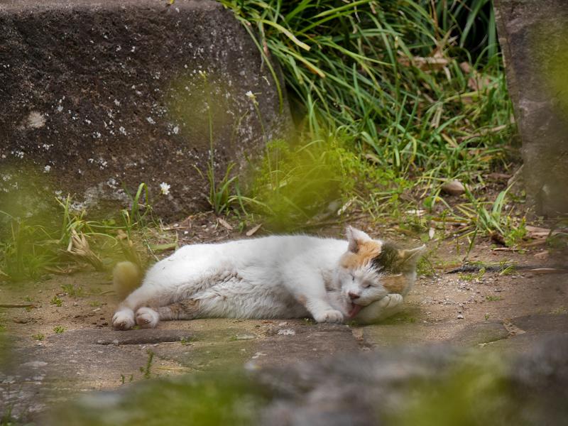 地面に横になってる白三毛猫2