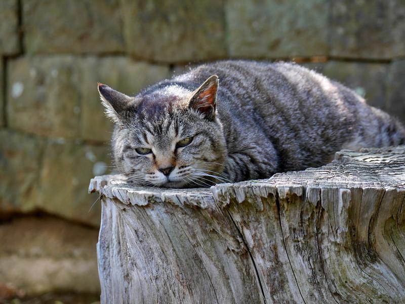 桜の切り株で寝ているキジトラ猫2