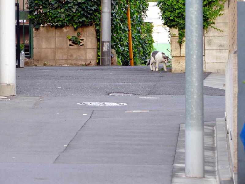裏路地を歩く白グレー猫3