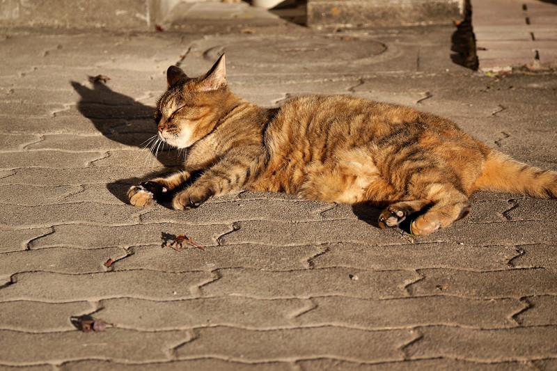 夕陽を受けてまったりするサビ柄猫3