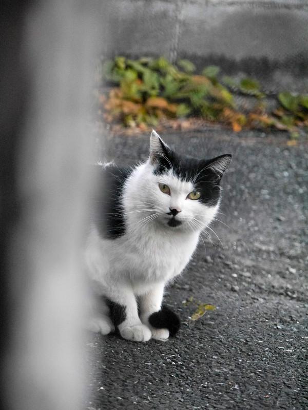 見つめ合った黒白猫3