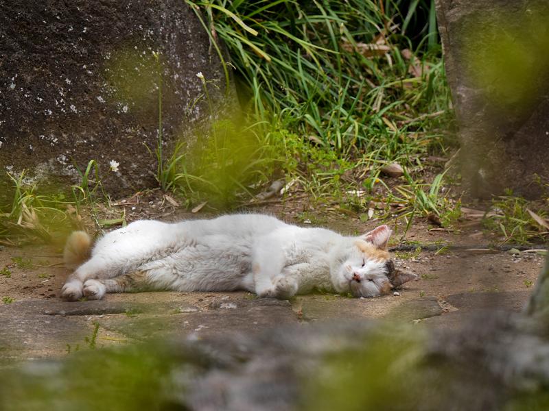 地面に横になってる白三毛猫3