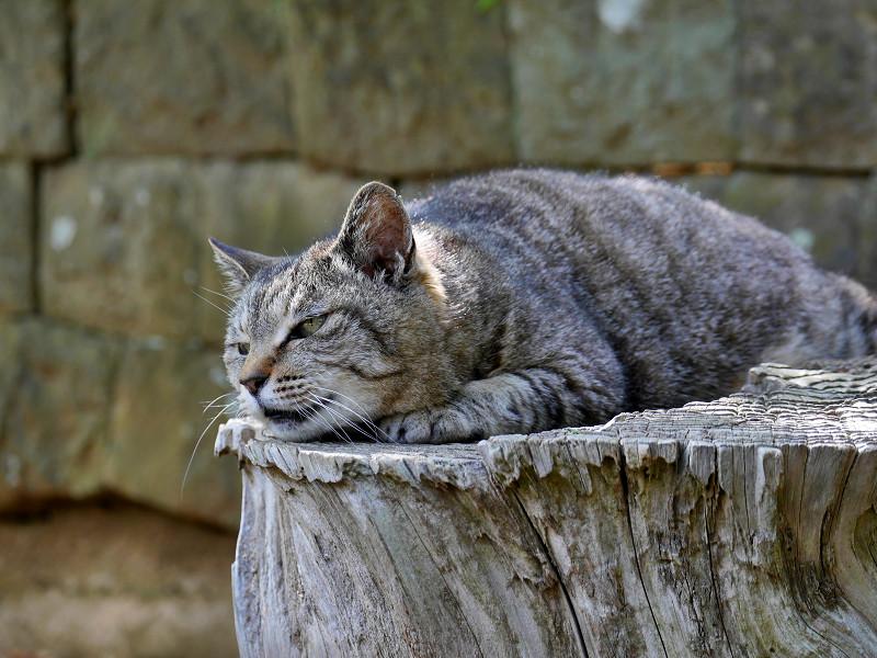桜の切り株で寝ているキジトラ猫3