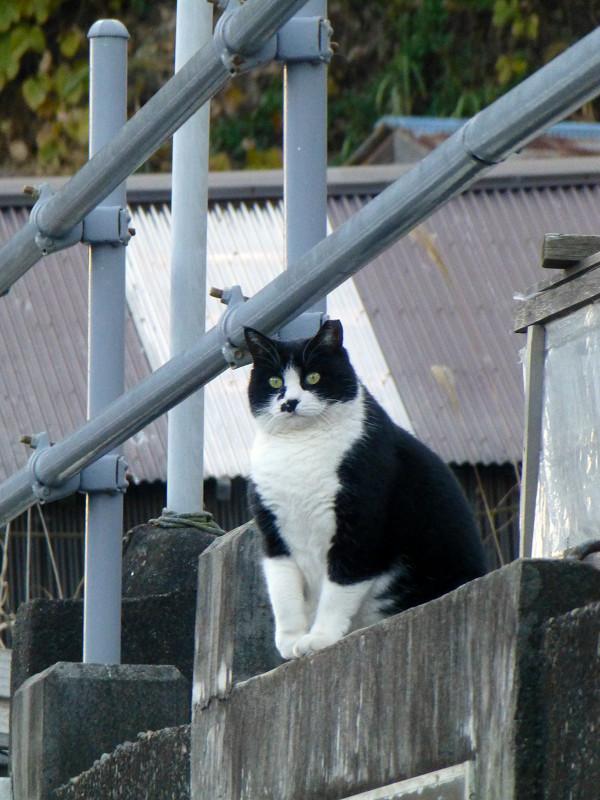 高い所の黒白猫