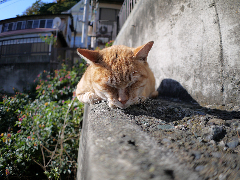 向きを変えて寝る茶白猫1