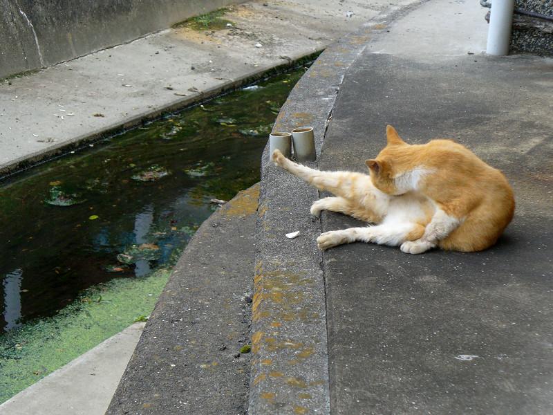 川の横で毛づくろいする茶白猫