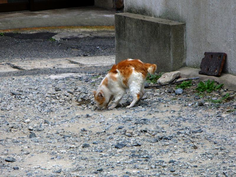 一生懸命に隠してる白茶猫1