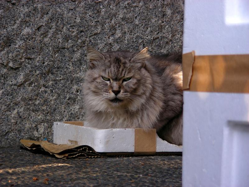 箱の蓋に入ってる毛長の洋風猫2