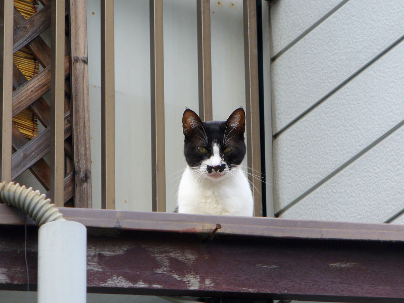 屋根の上のチョビ髭黒白猫2
