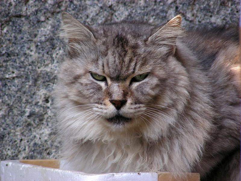 箱の蓋に入ってる毛長の洋風猫3