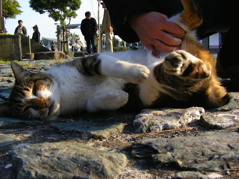 触られてる三毛猫3