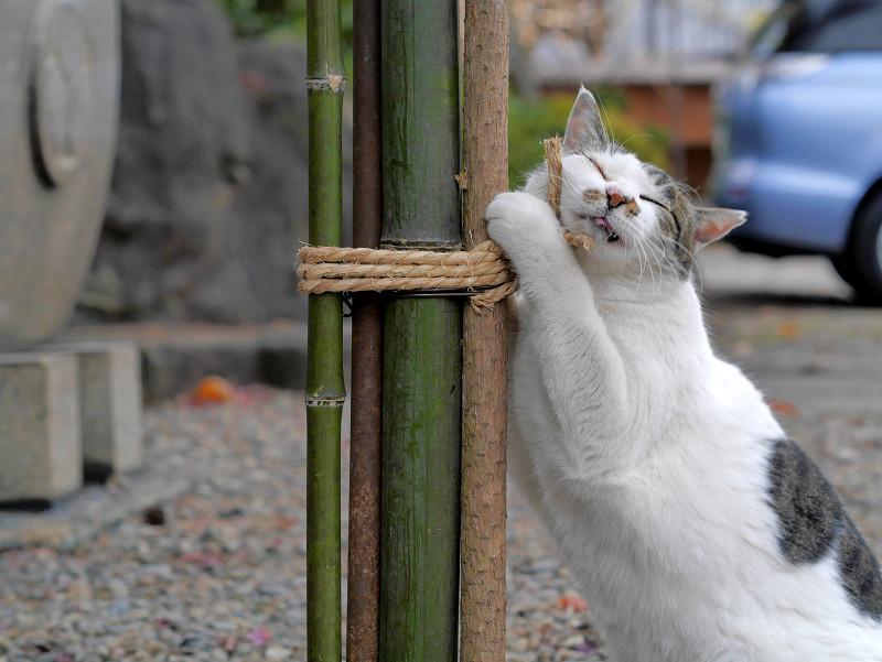 竹と縄と白キジ猫1