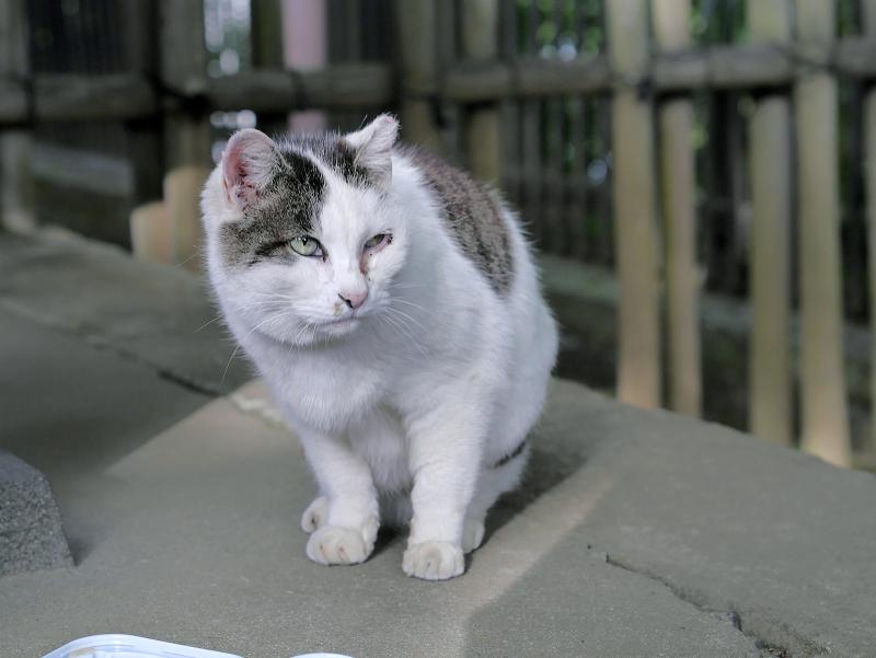 じっと見ている白キジ猫1