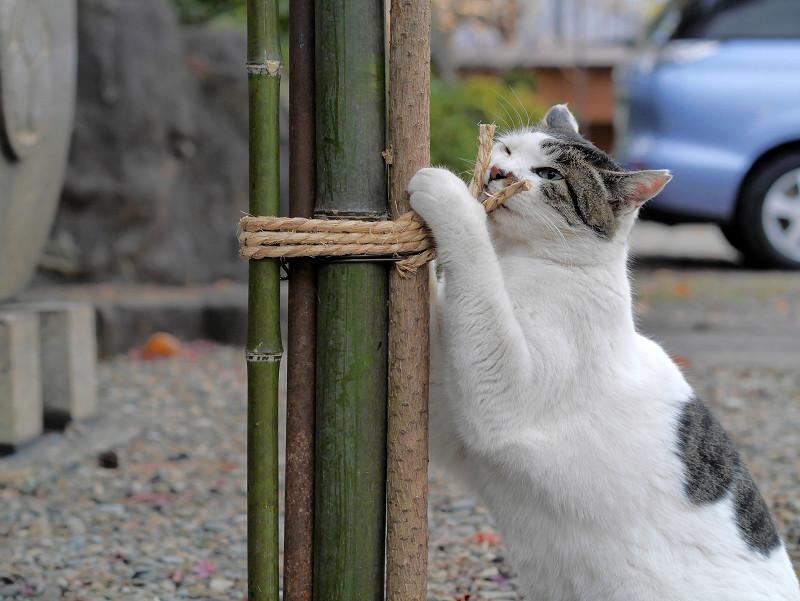 竹と縄と白キジ猫2