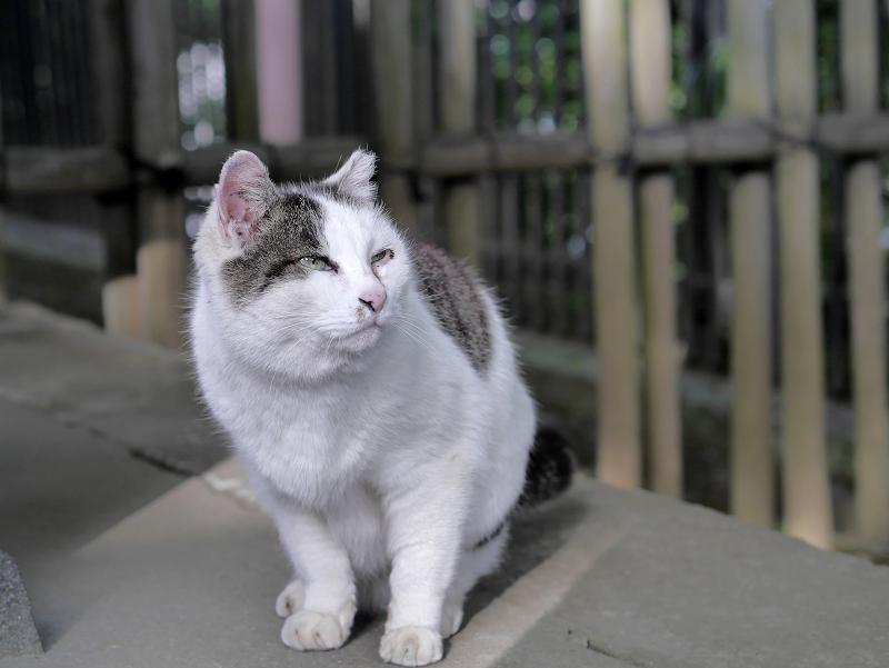 じっと見ている白キジ猫2