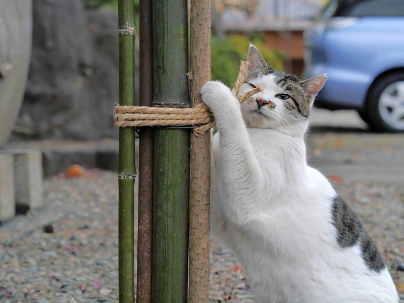 竹と縄と白キジ猫3