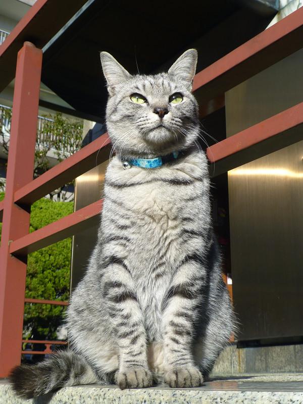スクっと座ってるサバトラ猫1