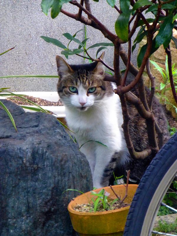 離れていくキジ白猫1