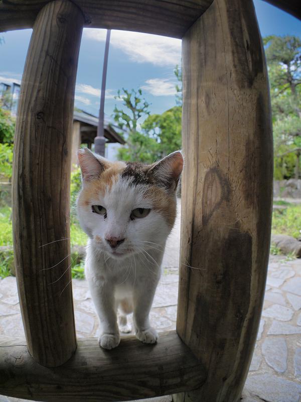 柵の隙間から見ている白三毛猫1