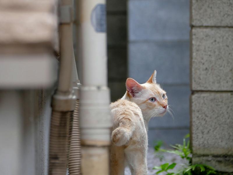やっぱり気にしてる白系猫1