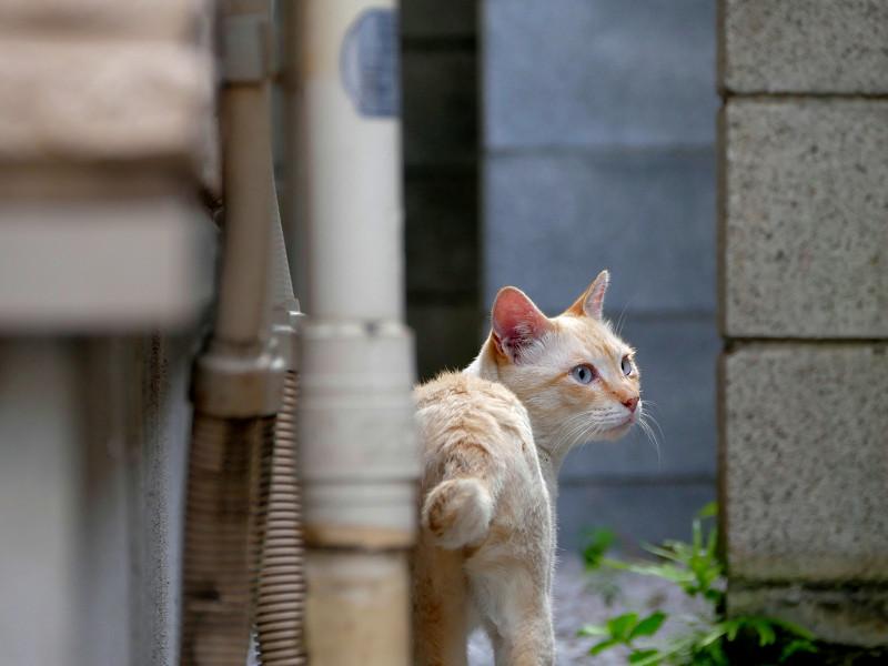 やっぱり気にしてる白系猫2
