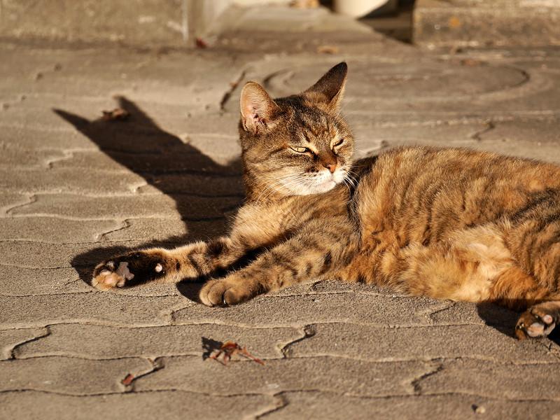 陽射しを浴びて眠くなるサビ猫1