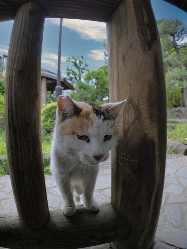 柵の隙間から見ている白三毛猫2
