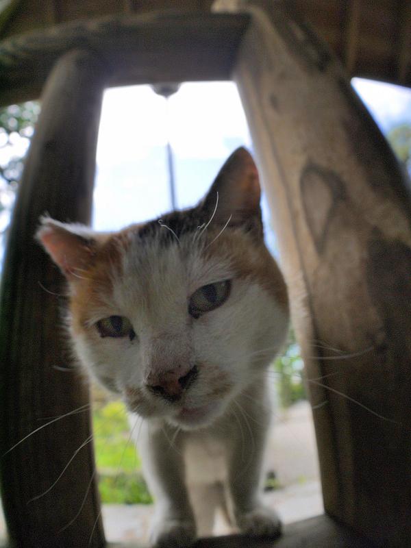 柵の隙間から見ている白三毛猫3