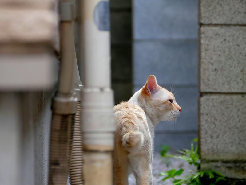やっぱり気にしてる白系猫3