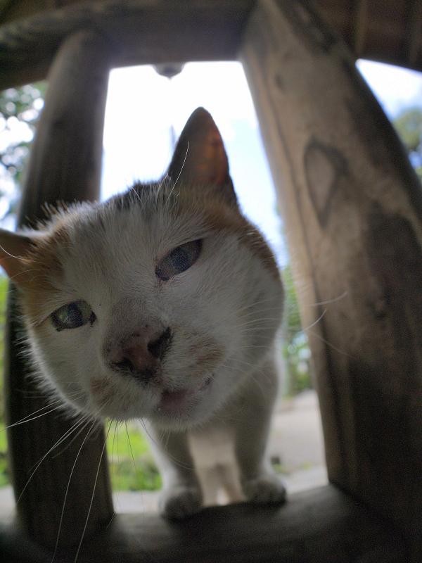 柵の隙間から見ている白三毛猫4