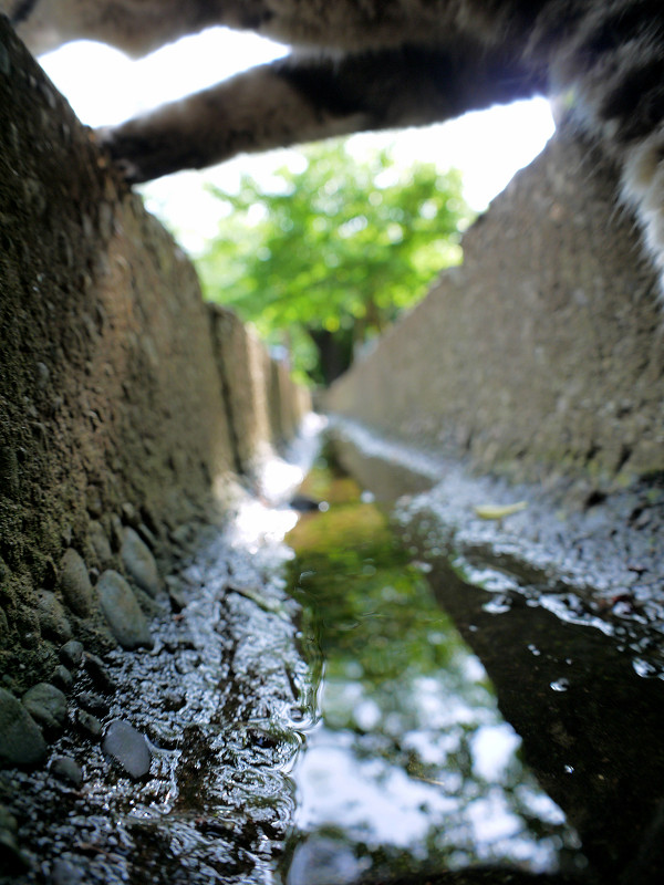 側溝の水を飲むキジトラ猫4