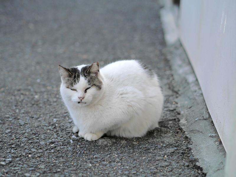 全体的に白い猫1