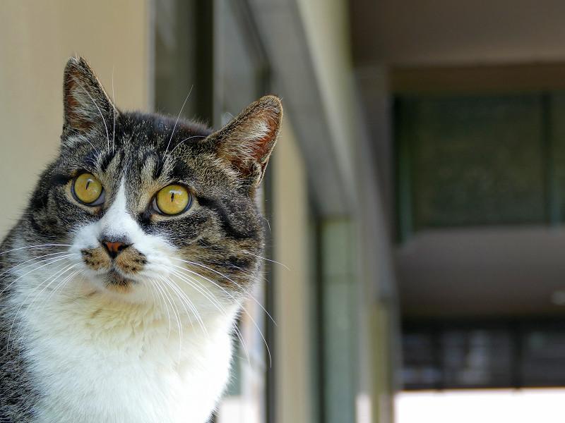 目を見開いて見ているキジ白猫1