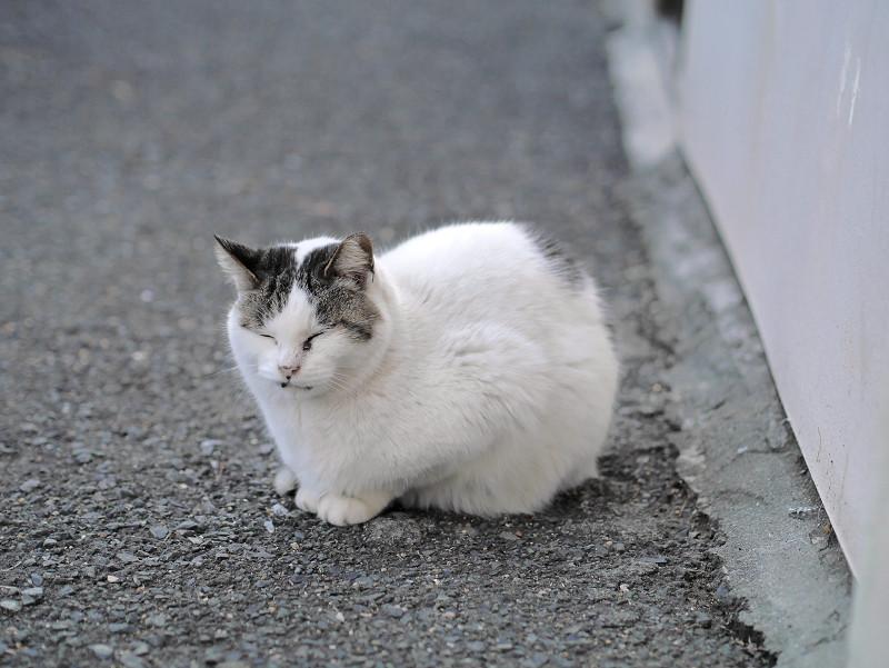 全体的に白い猫2