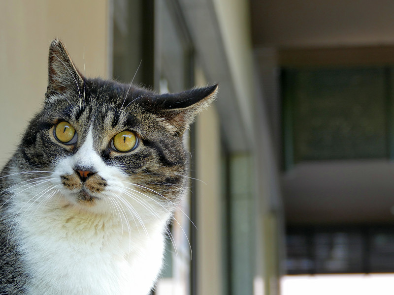 目を見開いて見ているキジ白猫2