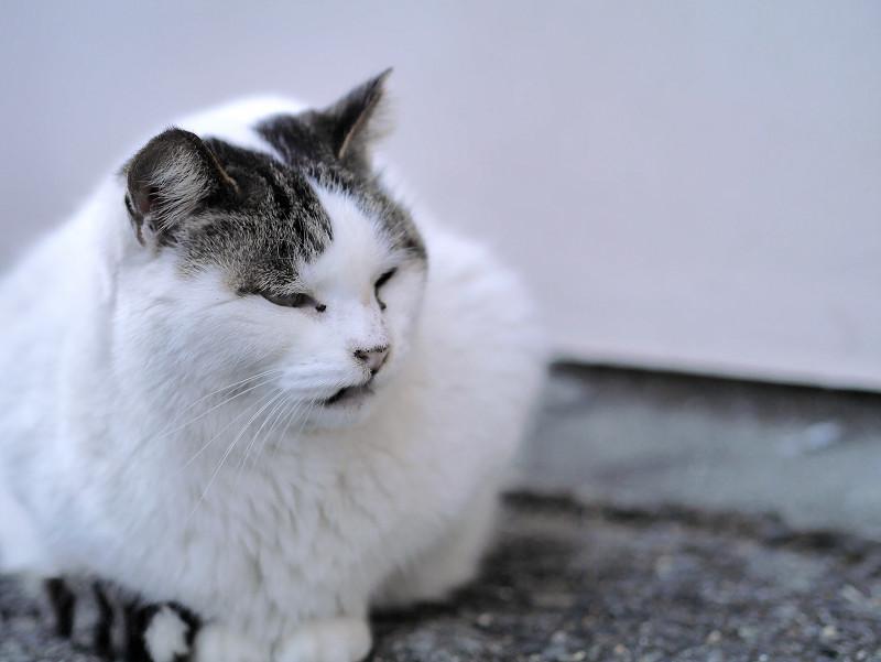 全体的に白い猫3
