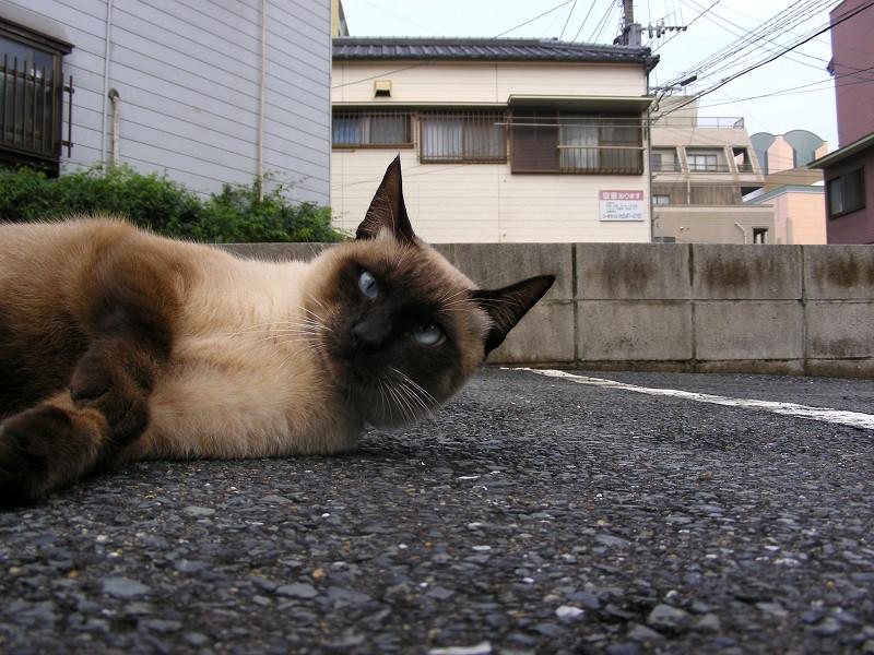 横になってる洋風猫1