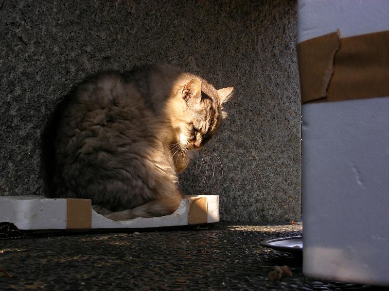 箱の蓋に入って毛繕いする毛長の洋風猫1