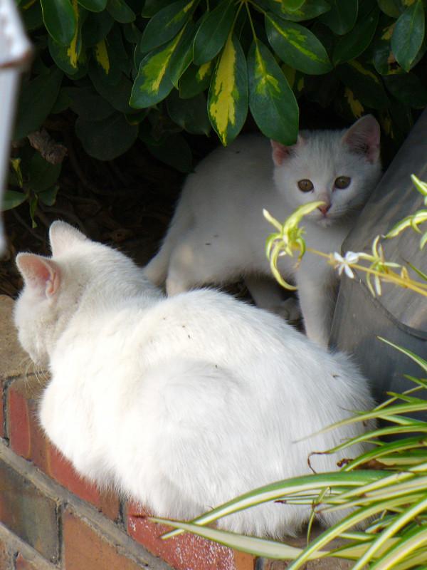 白猫親子1