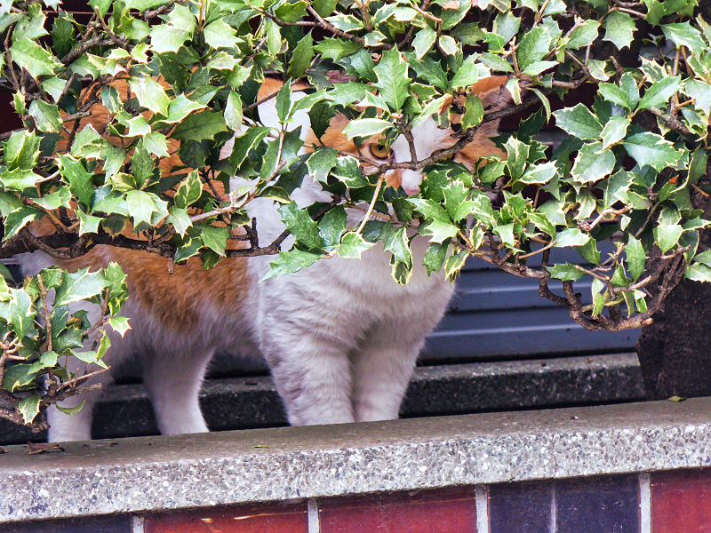 葉っぱの隙間から見ていた茶白猫