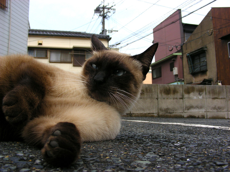 横になってる洋風猫2