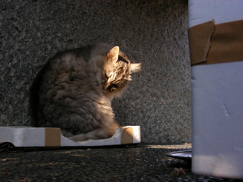 箱の蓋に入って毛繕いする毛長の洋風猫2