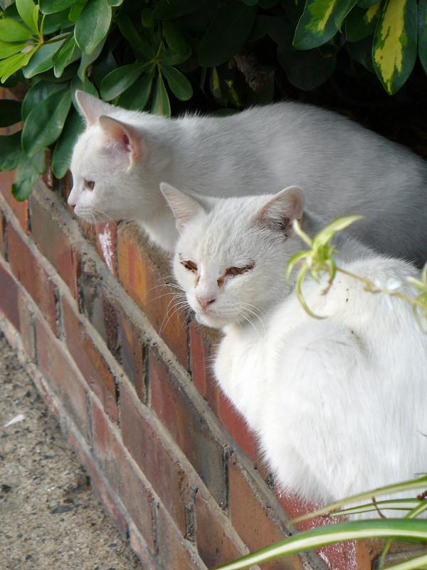 白猫親子2