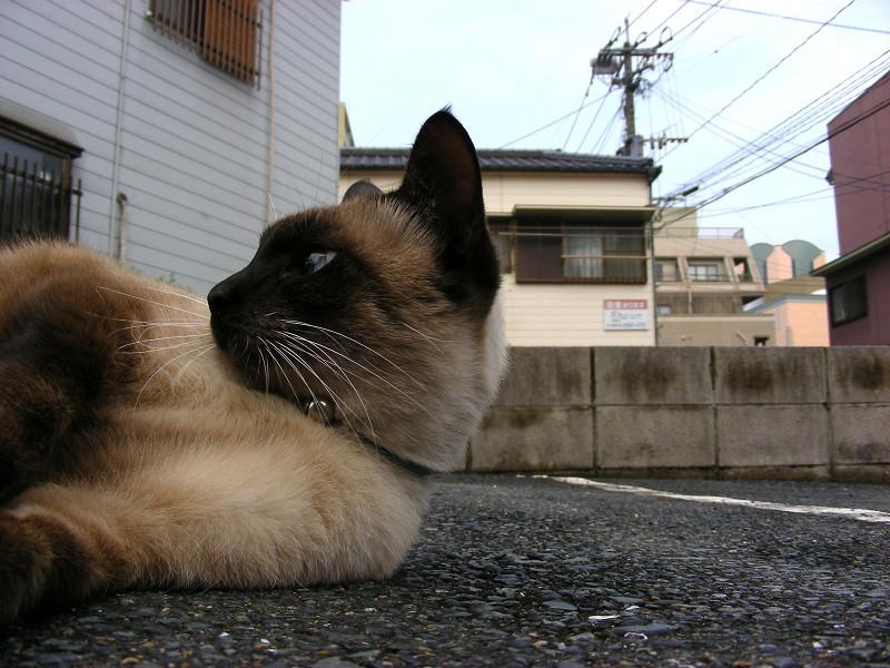 横になってる洋風猫3